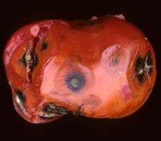 Anthracnose of tomato. Photo from http://extension.umass.edu/