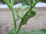 Tobacco Hornworm polishing off some tomato leaves. Photo from the University of Georgia.